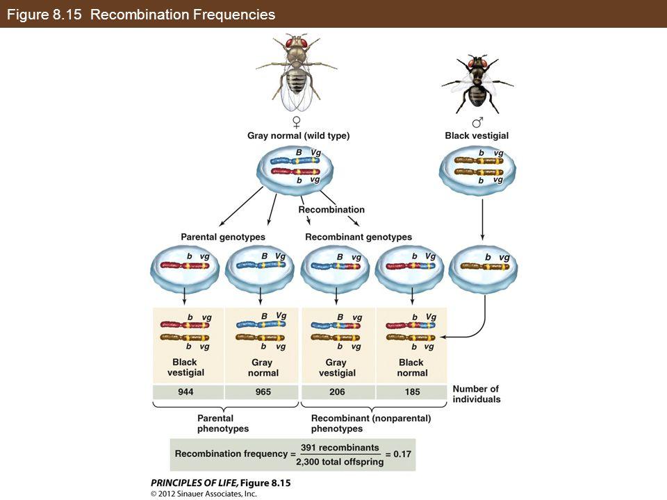 Figure 8.15 Recombination Frequencies