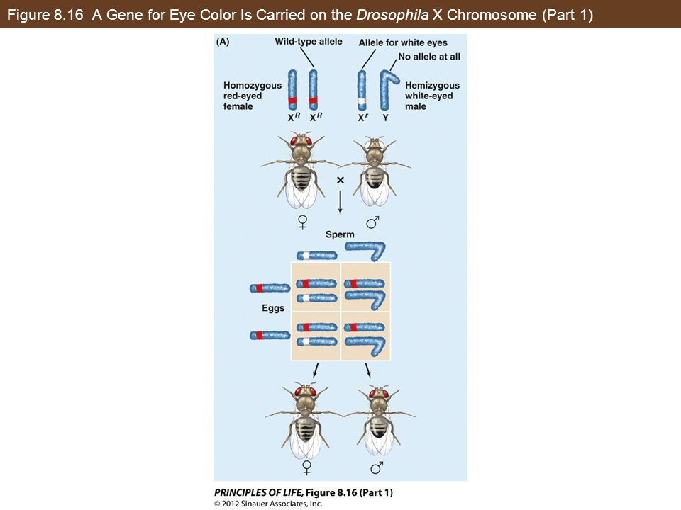 Figure 8.16 A Gene for Eye Color Is Carried on the Drosophila X Chromosome (Part 1)