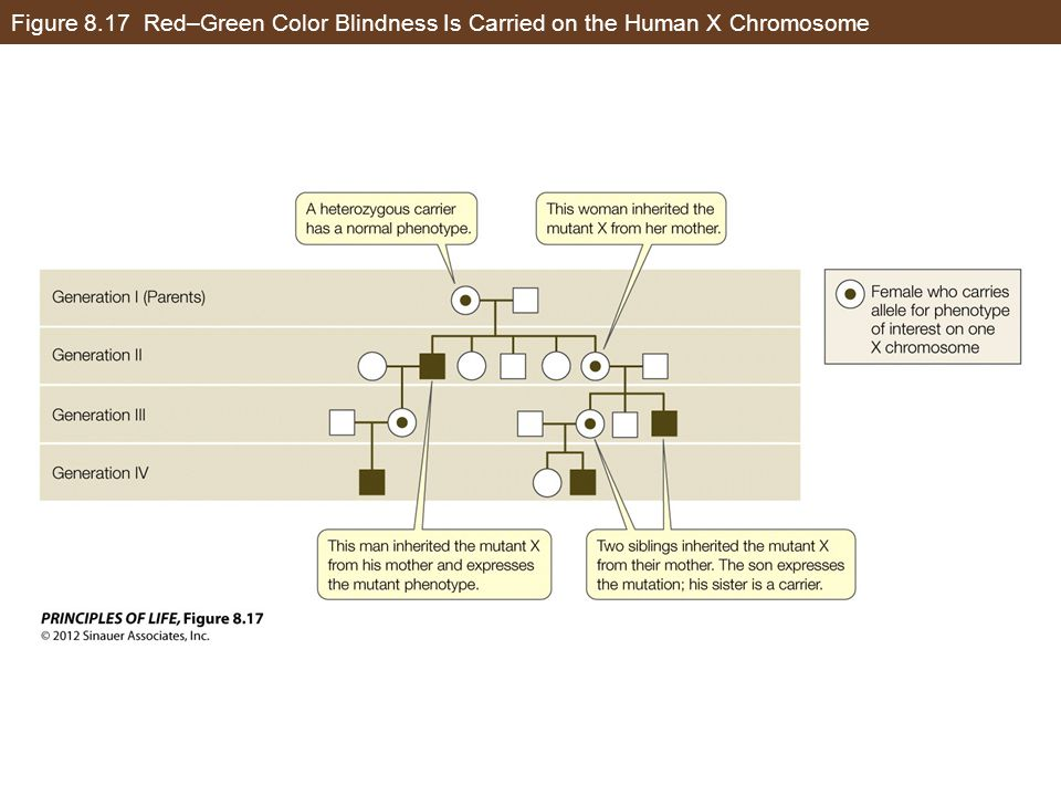 Figure 8.17 Red–Green Color Blindness Is Carried on the Human X Chromosome