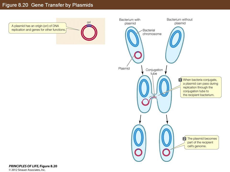 Figure 8.20 Gene Transfer by Plasmids