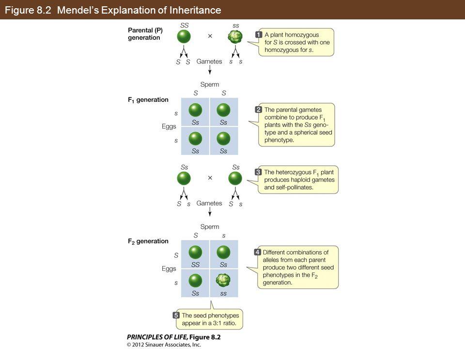 Figure 8.2 Mendel's Explanation of Inheritance
