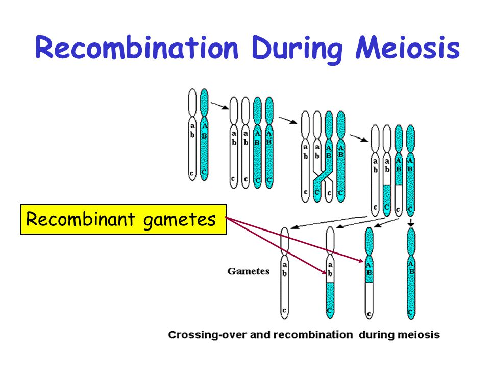 Recombination During Meiosis Recombinant gametes