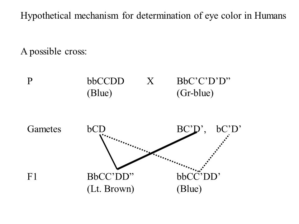 "PbbCCDD XBbC'C'D'D"" (Blue)(Gr-blue) GametesbCDBC'D', bC'D' F1BbCC'DD""bbCC'DD' (Lt. Brown)(Blue) Hypothetical mechanism for determination of eye color"