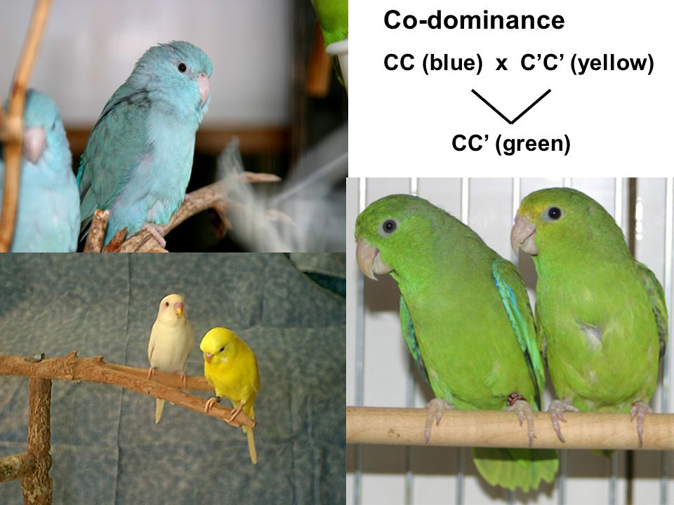 Co-dominance CC (blue) x C'C' (yellow) CC' (green)