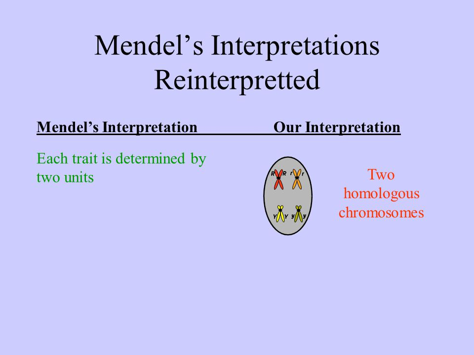 Mendel's Interpretations Reinterpretted Mendel's InterpretationOur Interpretation Each trait is determined by two units Two homologous chromosomes