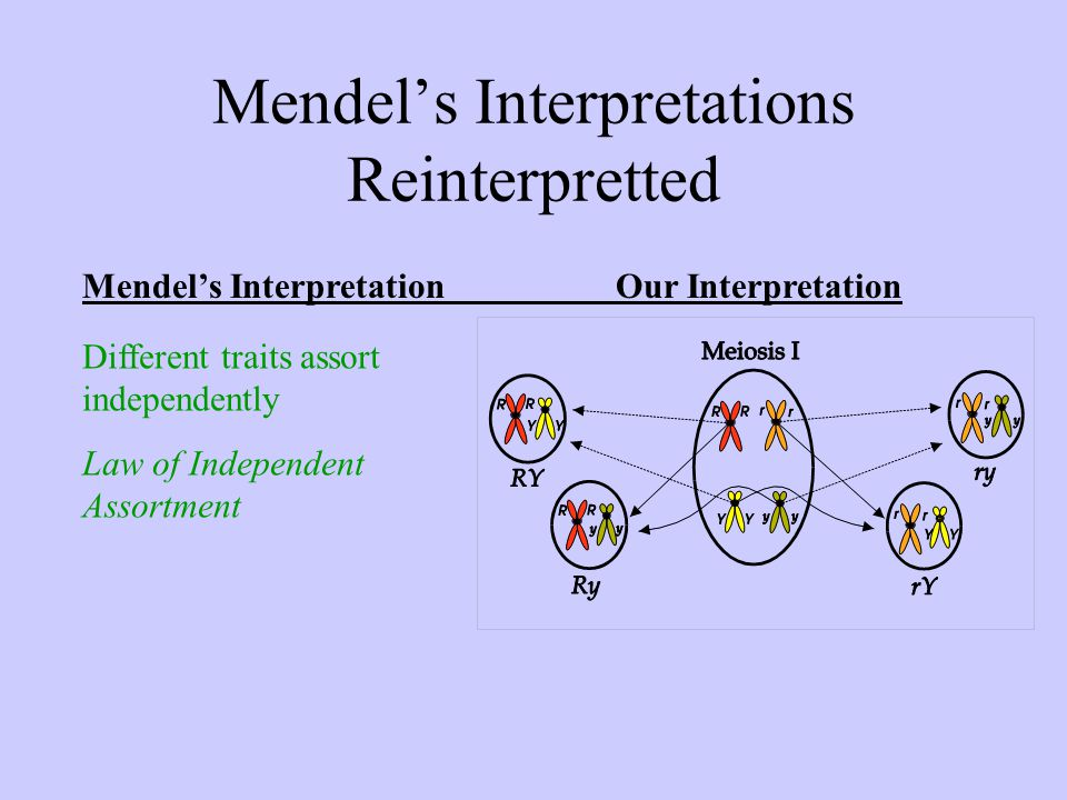 Mendel's Interpretations Reinterpretted Mendel's InterpretationOur Interpretation Different traits assort independently Law of Independent Assortment