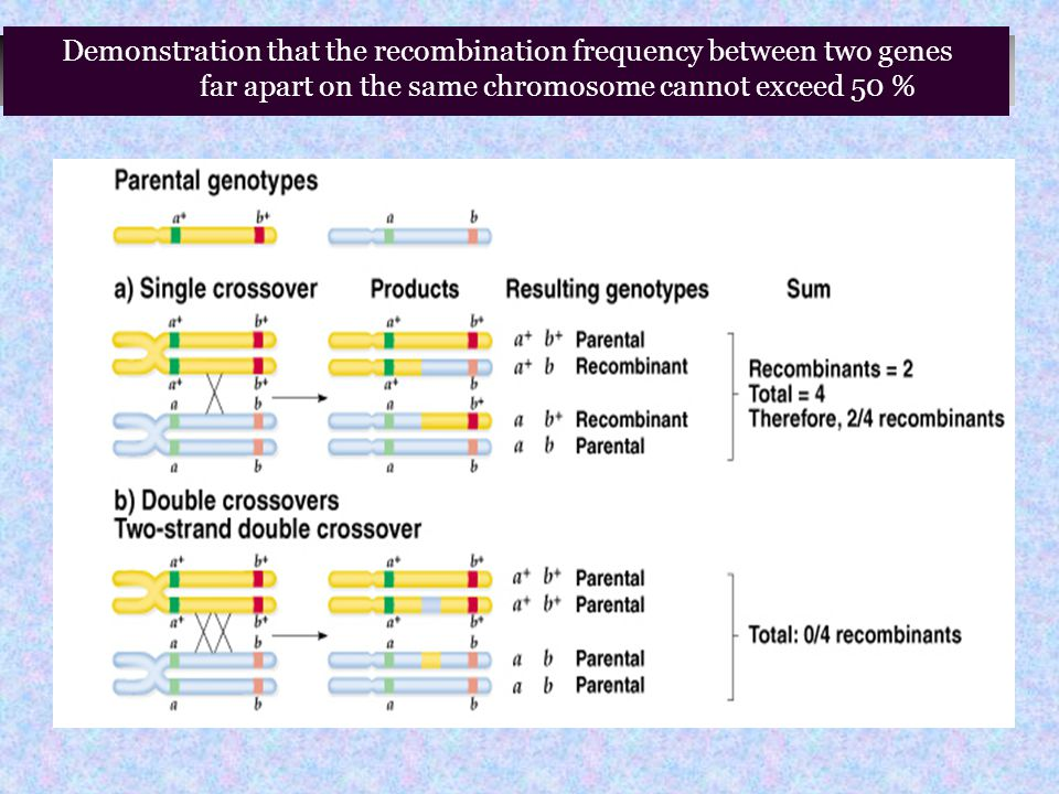 Demonstration that the recombination frequency between two genes far apart on the same chromosome cannot exceed 50 %
