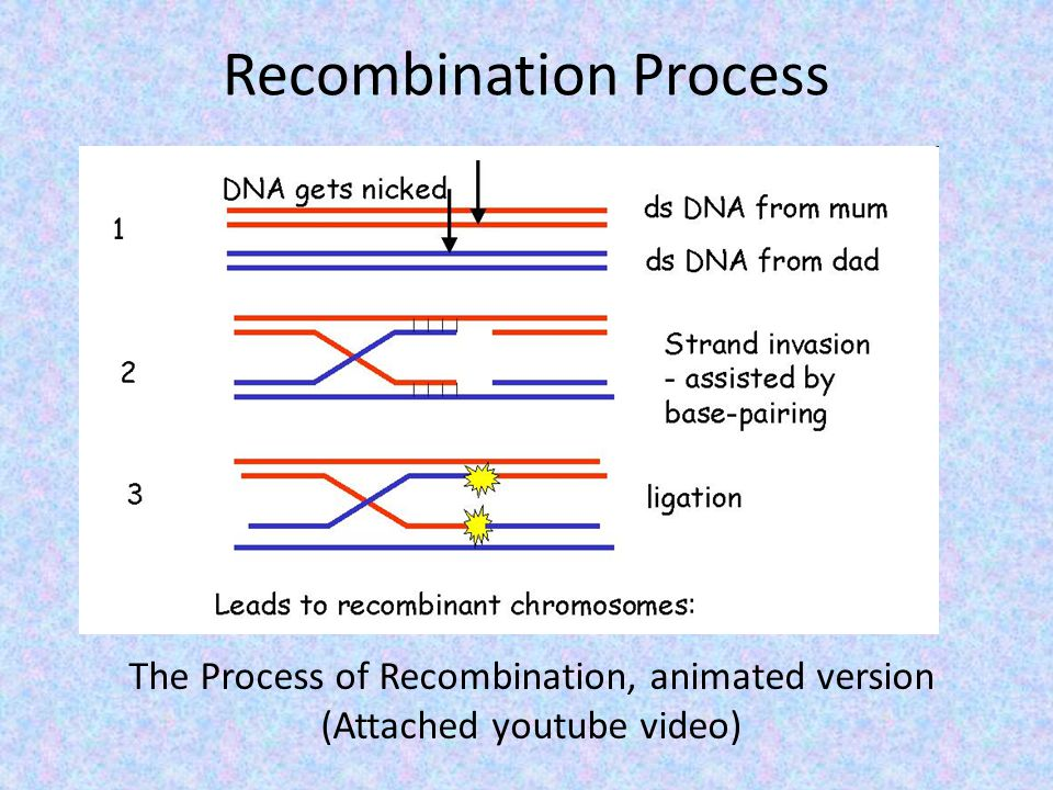 Recombination Process The Process of Recombination, animated version (Attached youtube video)