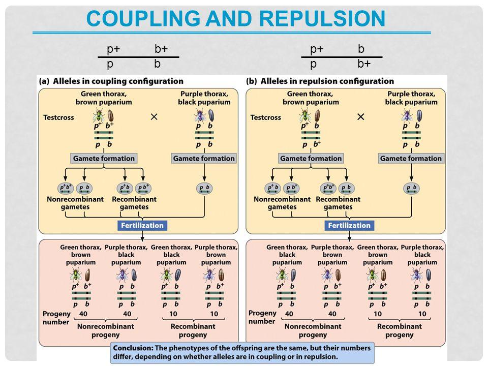 COUPLING AND REPULSION p+ b+ p b p+ b p b+