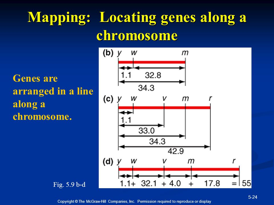 5-24 Copyright © The McGraw-Hill Companies, Inc. Permission required to reproduce or display Mapping: Locating genes along a chromosome Genes are arra