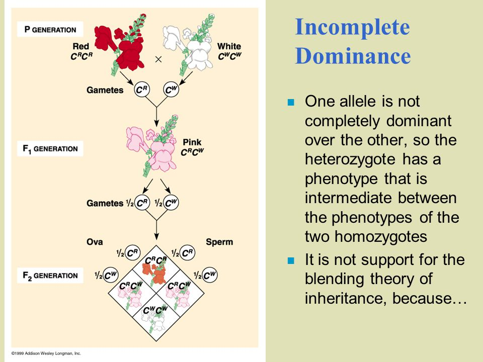 Incomplete Dominance n One allele is not completely dominant over the other, so the heterozygote has a phenotype that is intermediate between the phenotypes of the two homozygotes n It is not support for the blending theory of inheritance, because…