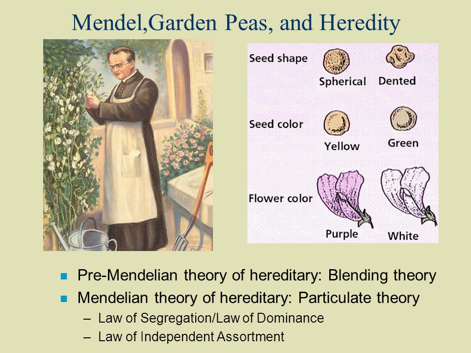 Mendel,Garden Peas, and Heredity n Pre-Mendelian theory of hereditary: Blending theory n Mendelian theory of hereditary: Particulate theory –Law of Segregation/Law of Dominance –Law of Independent Assortment