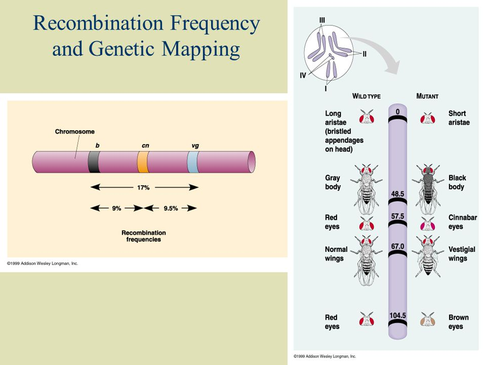 Recombination Frequency and Genetic Mapping