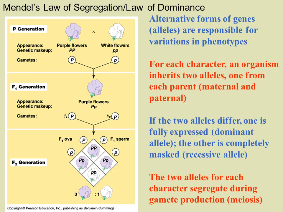 Mendel's Law of Segregation/Law of Dominance Alternative forms of genes (alleles) are responsible for variations in phenotypes For each character, an organism inherits two alleles, one from each parent (maternal and paternal) If the two alleles differ, one is fully expressed (dominant allele); the other is completely masked (recessive allele) The two alleles for each character segregate during gamete production (meiosis)