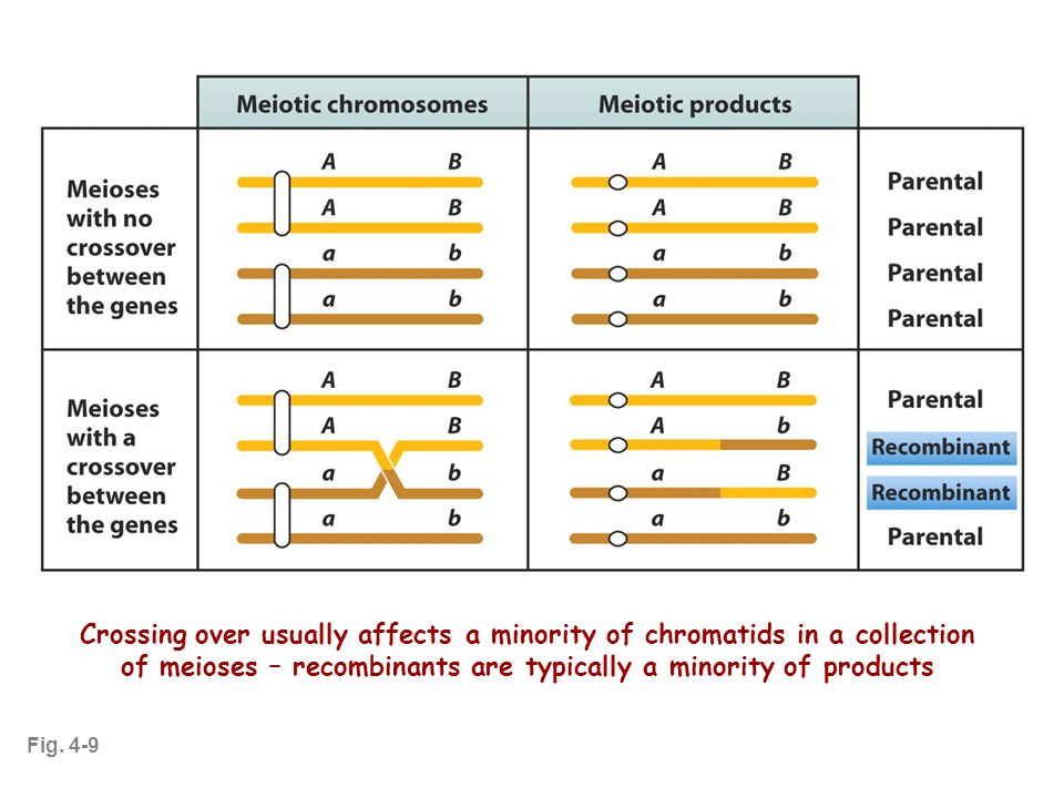 Fig. 4-9 Crossing over usually affects a minority of chromatids in a collection of meioses – recombinants are typically a minority of products