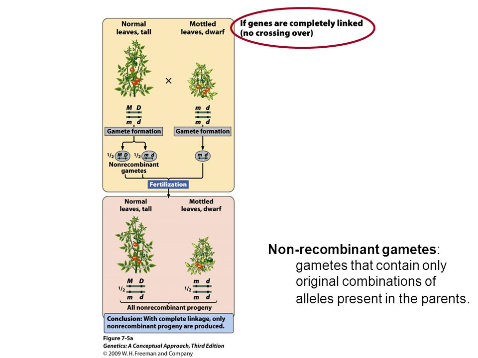 Recombinant gametes: gametes with new combinations of alleles.