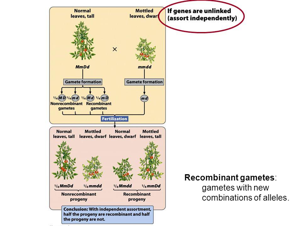 No crossing-over = Non-recombinant gametes