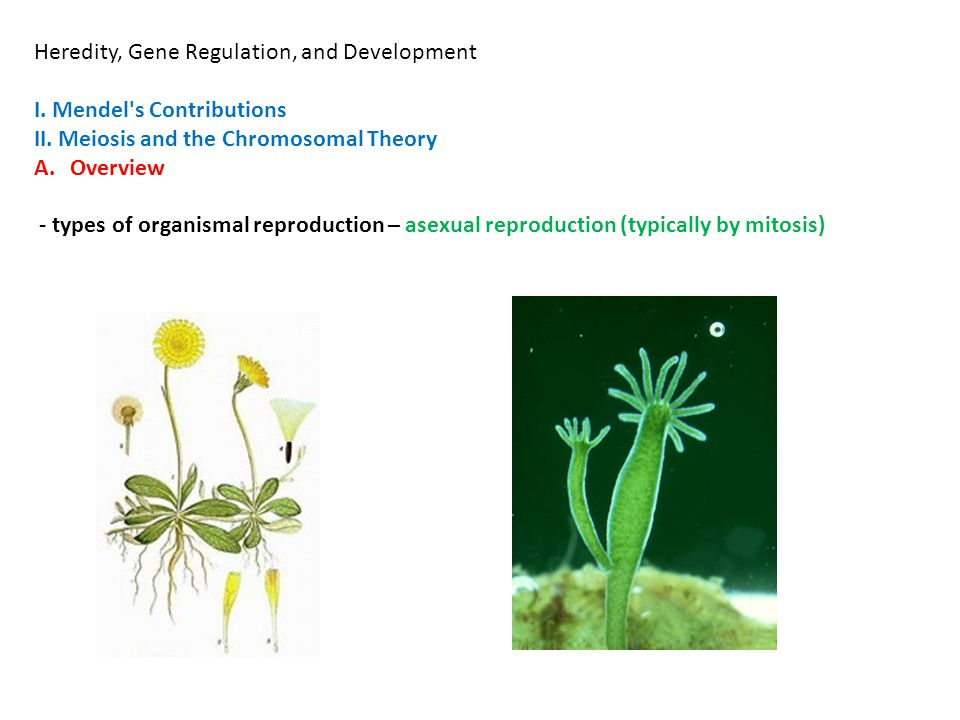 Heredity, Gene Regulation, and Development I. Mendel s Contributions II.