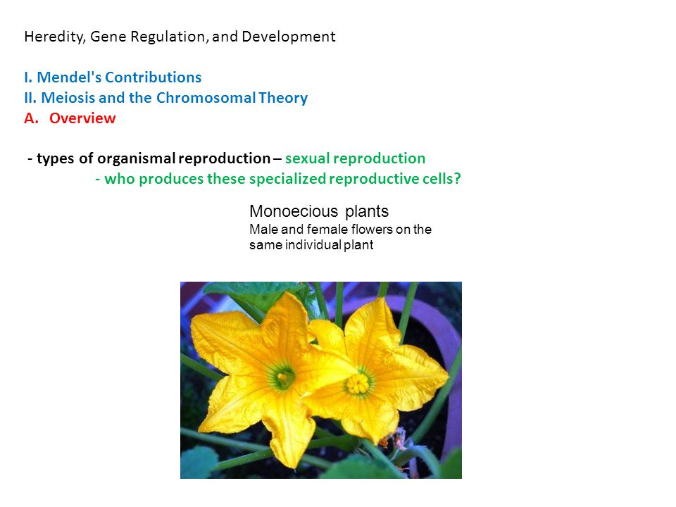 Heredity, Gene Regulation, and Development I. Mendel's Contributions II. Meiosis and the Chromosomal Theory A.Overview - types of organismal reproduct