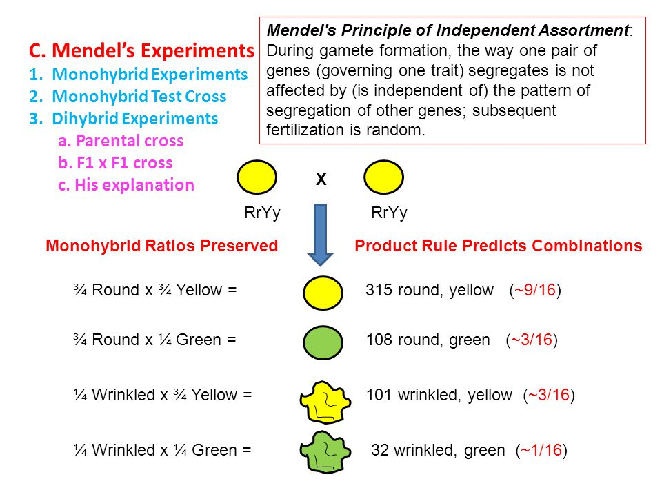 C. Mendel's Experiments 1. Monohybrid Experiments 2. Monohybrid Test Cross 3. Dihybrid Experiments a. Parental cross b. F1 x F1 cross c. His explanati