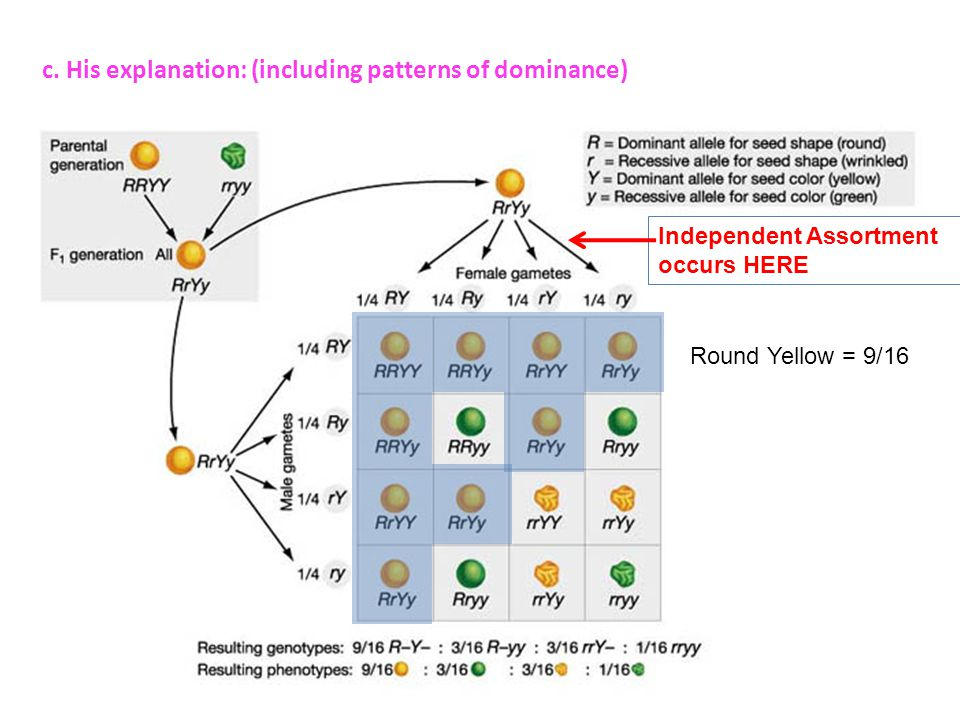 c. His explanation: (including patterns of dominance) Independent Assortment occurs HERE Round Yellow = 9/16