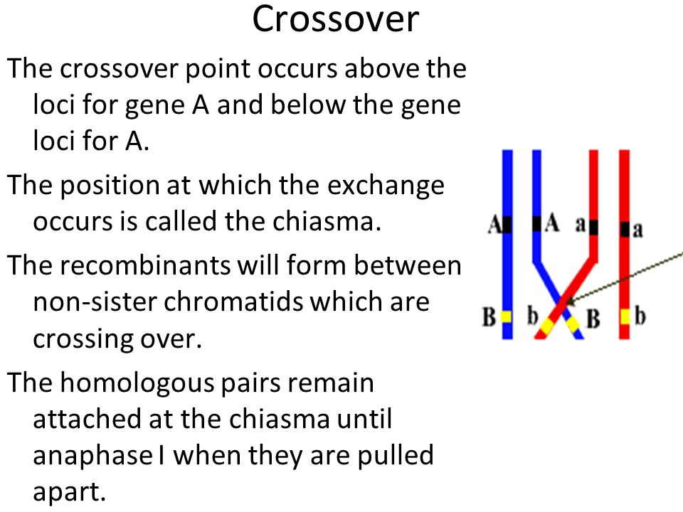 Crossover The crossover point occurs above the loci for gene A and below the gene loci for A. The position at which the exchange occurs is called the