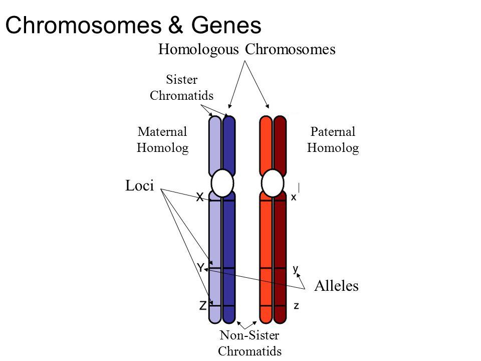 Chromosomes & Genes Homologous Chromosomes Sister Chromatids Non-Sister Chromatids Loci Alleles Maternal Homolog Paternal Homolog