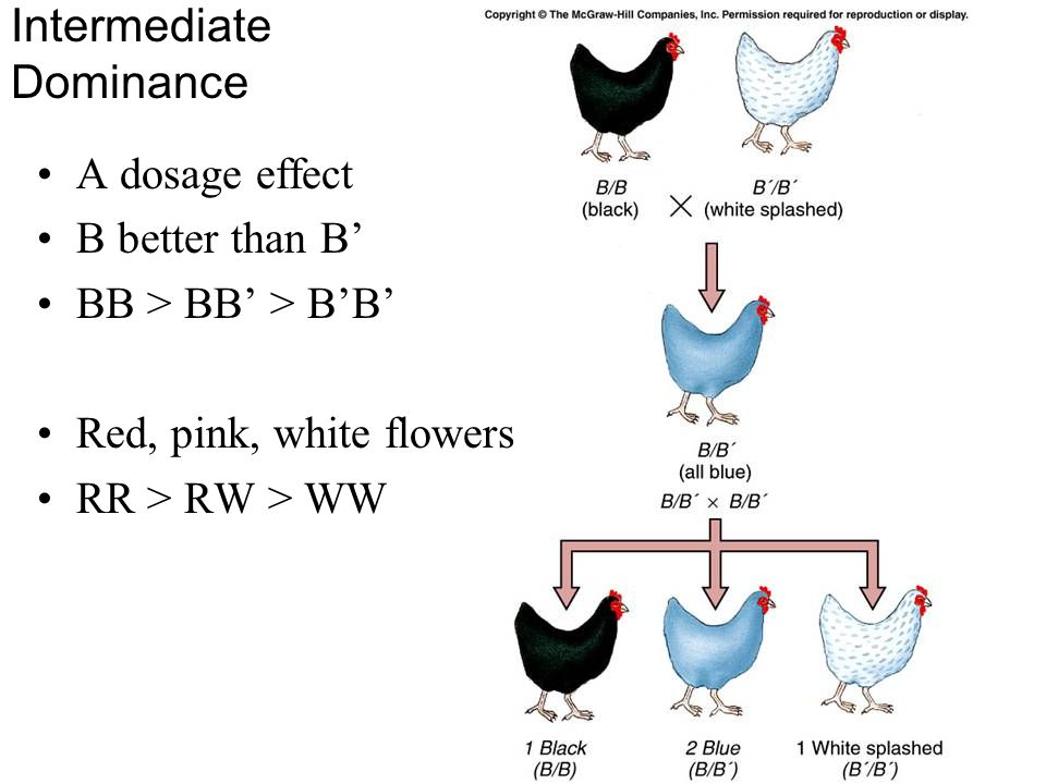 Intermediate Dominance A dosage effect B better than B' BB > BB' > B'B' Red, pink, white flowers RR > RW > WW