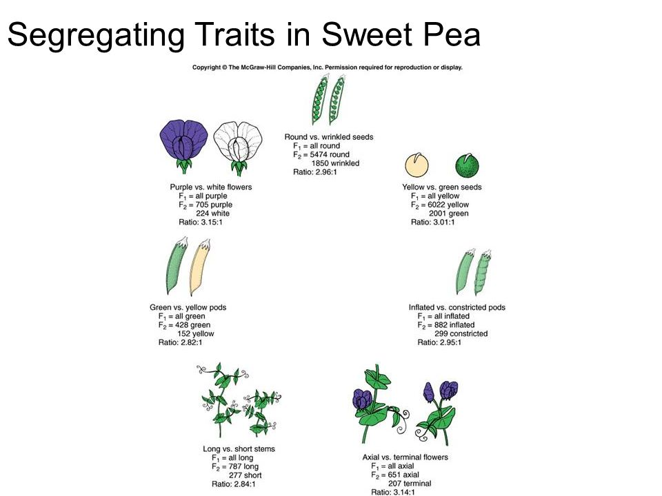 Segregating Traits in Sweet Pea