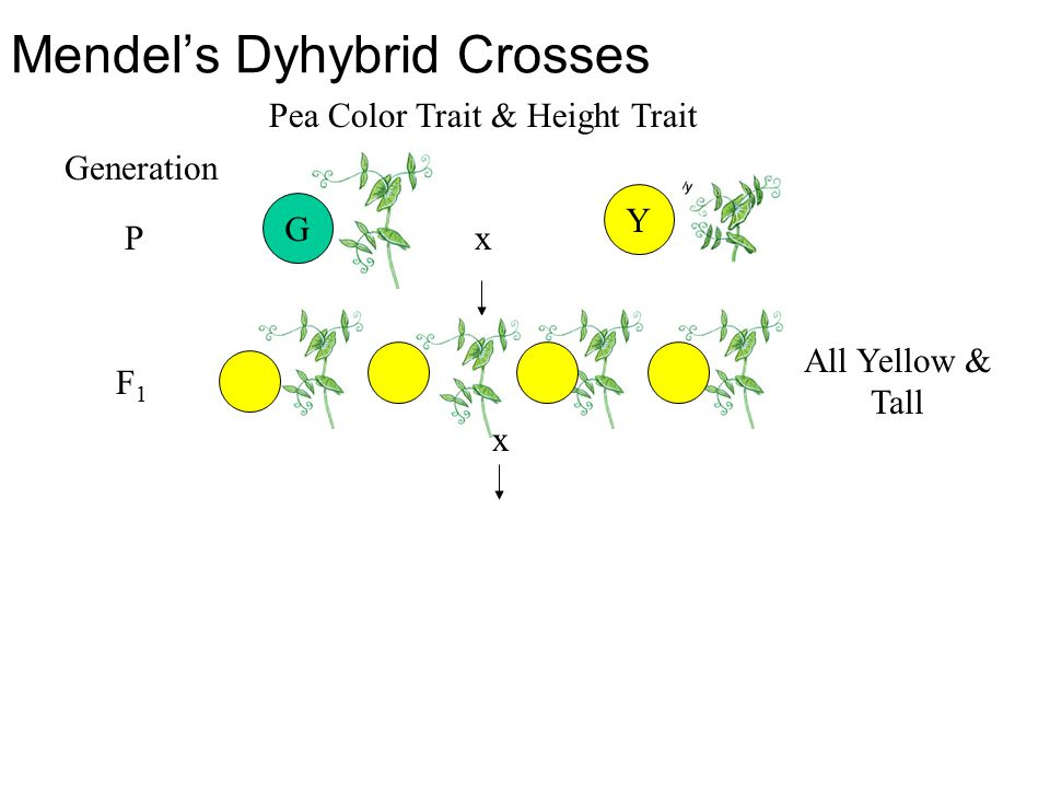 Mendel's Dyhybrid Crosses Y Pea Color Trait & Height Trait x All Yellow & Tall P Generation F1F1 G x