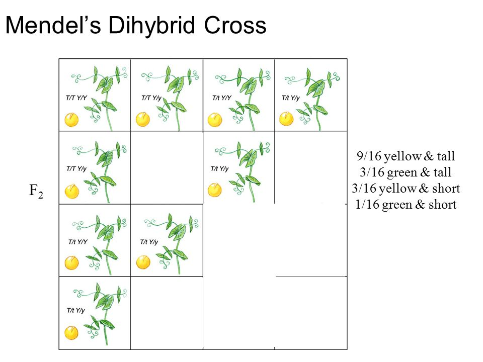 Mendel's Dihybrid Cross 9/16 yellow & tall 3/16 green & tall 3/16 yellow & short 1/16 green & short F2F2