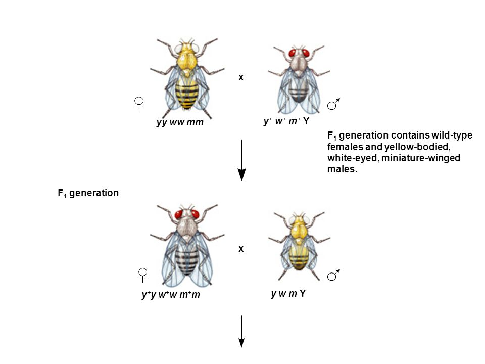 yy ww mm y + y w + w m + m F 1 generation x y w m Y x y + w + m + Y F 1 generation contains wild-type females and yellow-bodied, white-eyed, miniature