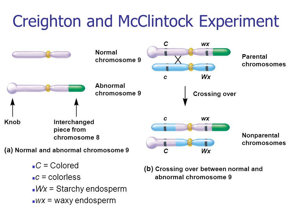 Parental chromosomes Nonparental chromosomes CWx cwx cWx Cwx Crossing over (b) Crossing over between normal and abnormal chromosome 9 Normal chromosom
