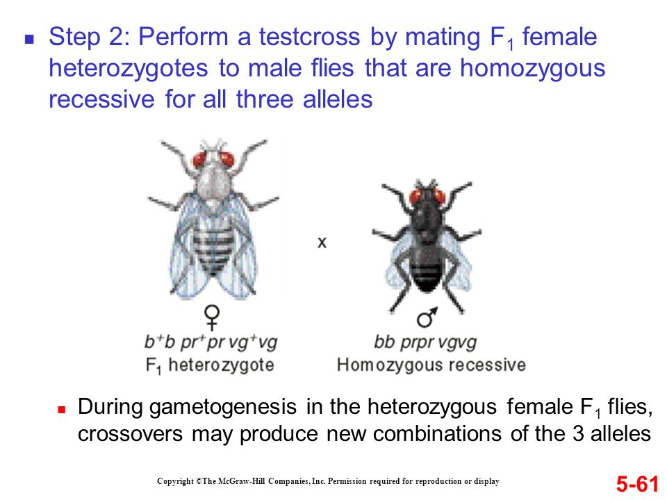 Copyright ©The McGraw-Hill Companies, Inc. Permission required for reproduction or display 5-61 Step 2: Perform a testcross by mating F 1 female heter