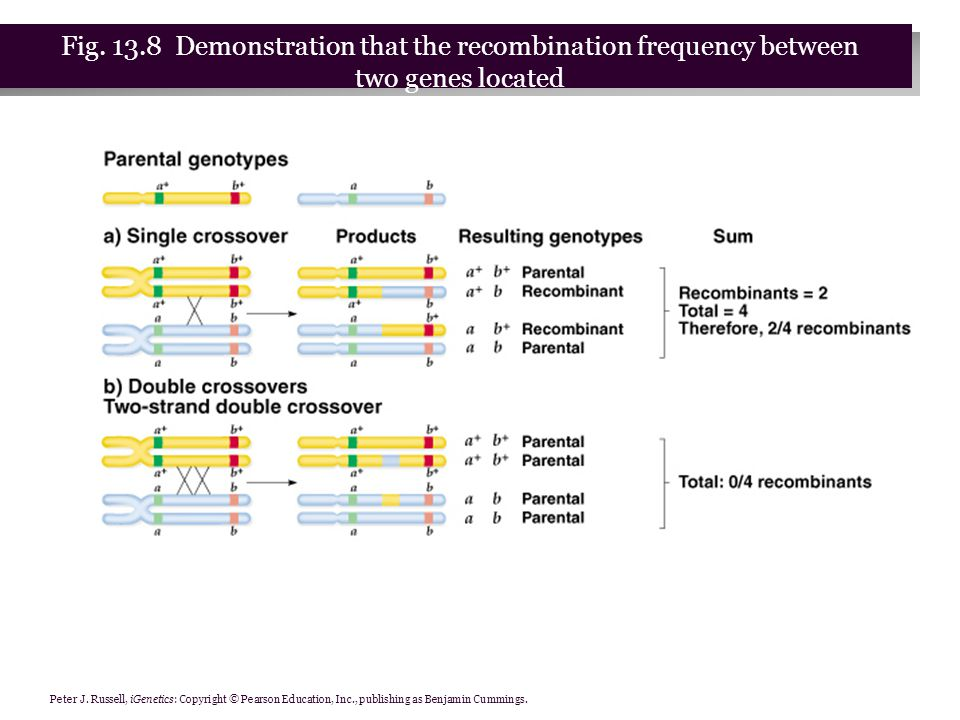 Peter J. Russell, iGenetics: Copyright © Pearson Education, Inc., publishing as Benjamin Cummings. Fig. 13.8 Demonstration that the recombination freq