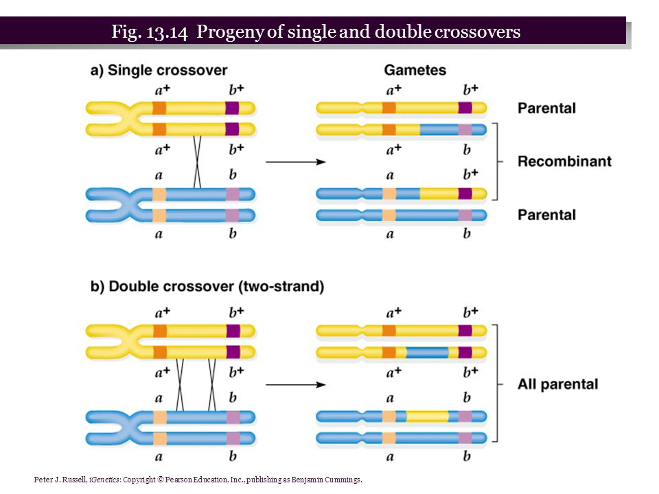 Peter J. Russell, iGenetics: Copyright © Pearson Education, Inc., publishing as Benjamin Cummings. Fig. 13.14 Progeny of single and double crossovers