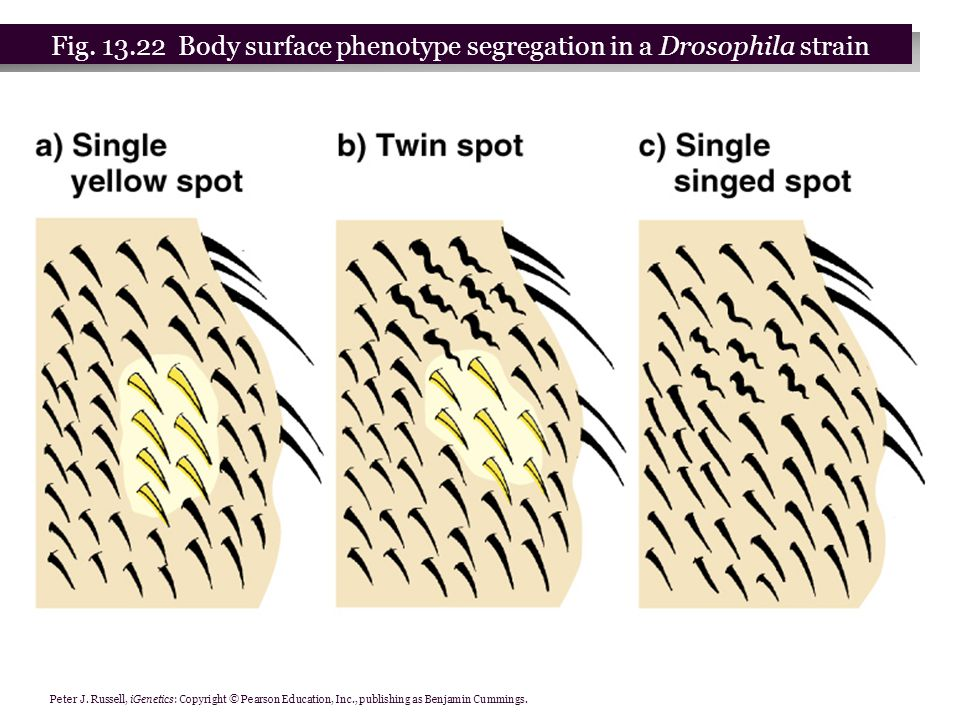 Peter J. Russell, iGenetics: Copyright © Pearson Education, Inc., publishing as Benjamin Cummings. Fig. 13.22 Body surface phenotype segregation in a