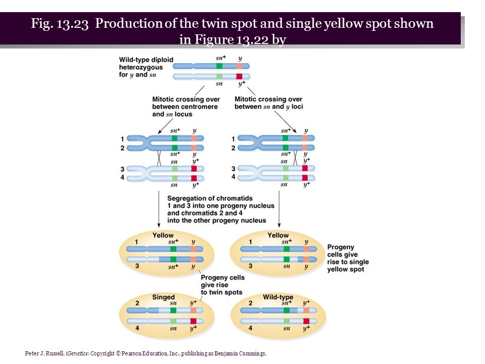 Peter J. Russell, iGenetics: Copyright © Pearson Education, Inc., publishing as Benjamin Cummings. Fig. 13.23 Production of the twin spot and single y