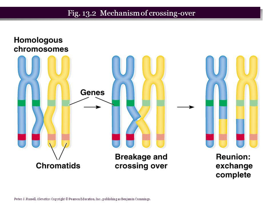 Peter J. Russell, iGenetics: Copyright © Pearson Education, Inc., publishing as Benjamin Cummings. Fig. 13.2 Mechanism of crossing-over