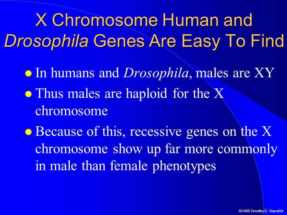 ©1999 Timothy G. Standish X Chromosome Human and Drosophila Genes Are Easy To Find In humans and Drosophila, males are XY Thus males are haploid for t