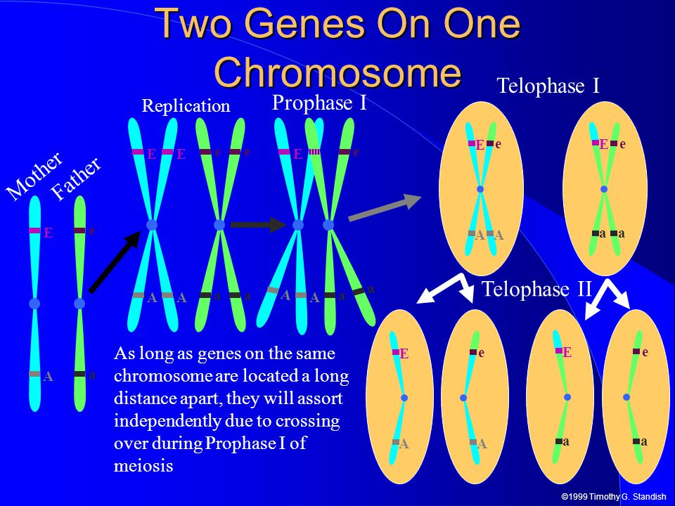 ©1999 Timothy G. Standish E A a e Two Genes On One Chromosome Telophase II Father Mother e a E A Telophase I A e E A E a e a E AA e E aa e Replication