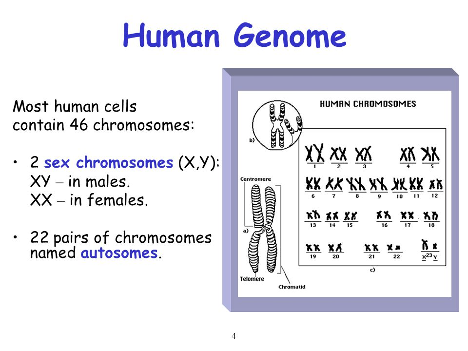 4 Human Genome Most human cells contain 46 chromosomes: 2 sex chromosomes (X,Y): XY – in males. XX – in females. 22 pairs of chromosomes named autosom