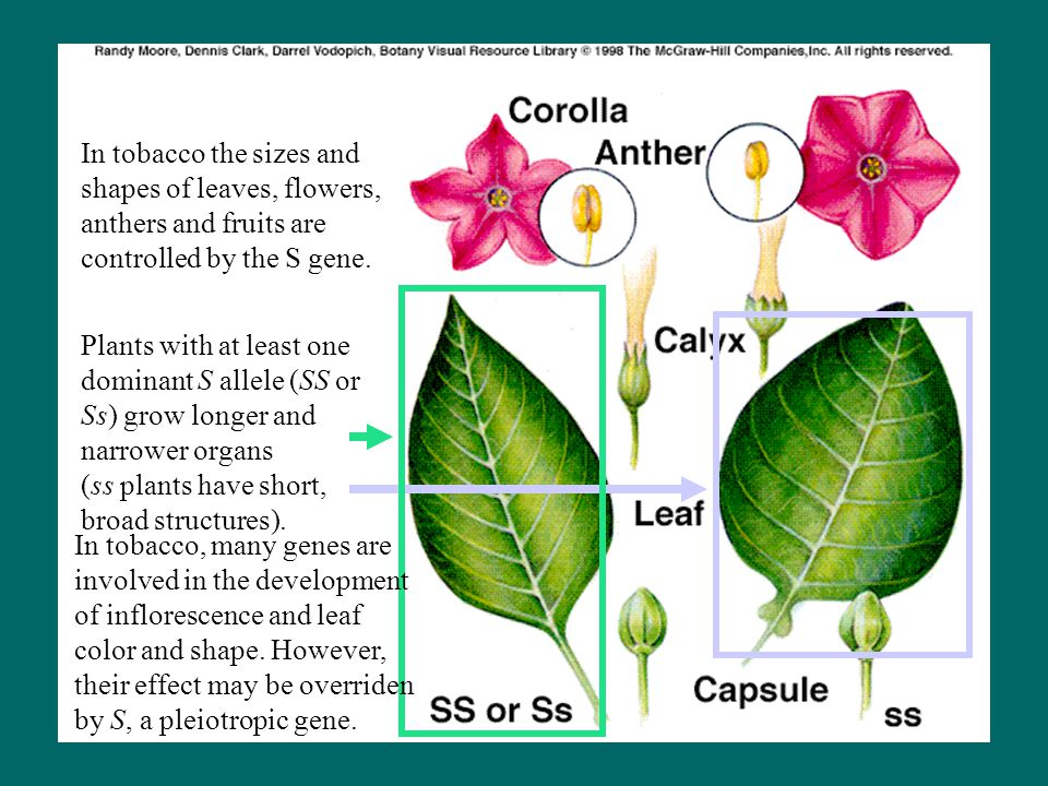 In tobacco the sizes and shapes of leaves, flowers, anthers and fruits are controlled by the S gene. Plants with at least one dominant S allele (SS or