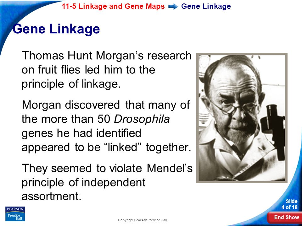 End Show 11-5 Linkage and Gene Maps Slide 4 of 18 Copyright Pearson Prentice Hall Gene Linkage Thomas Hunt Morgan's research on fruit flies led him to the principle of linkage.