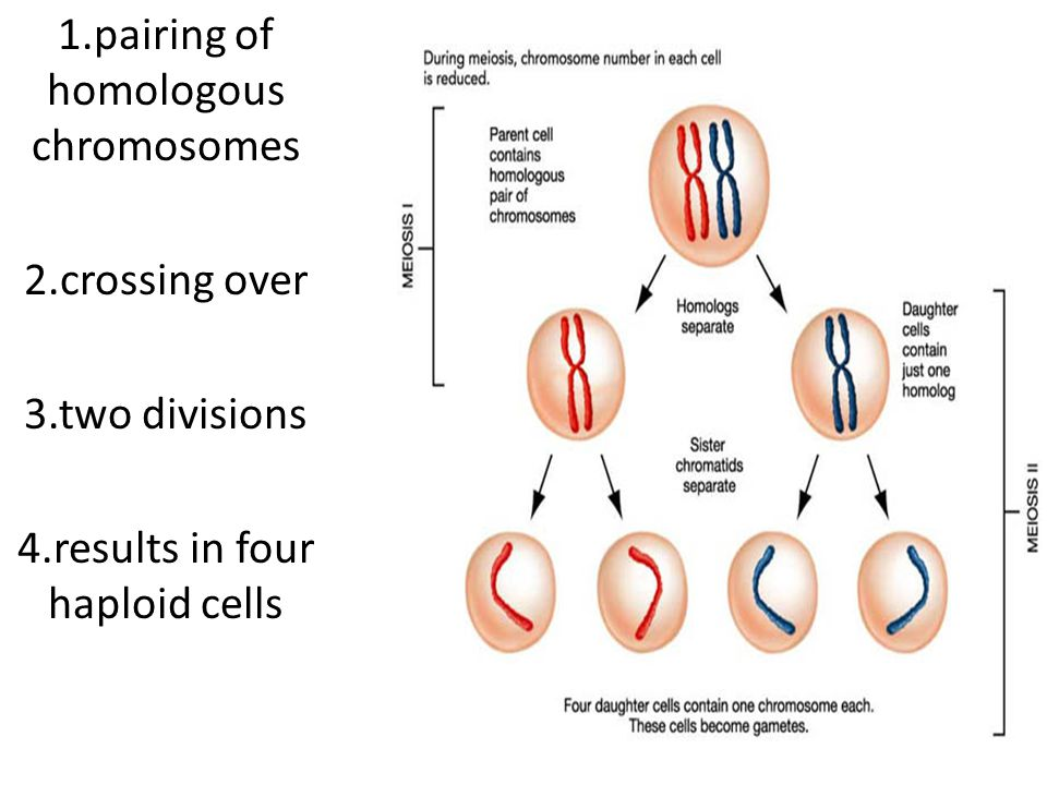 Meiosis Telophase 2 chromosomes (=chromatids) arrive at poles spindle disappears nuclear membrane reappears nucleolus reappears chromosomes decondense into chromatin