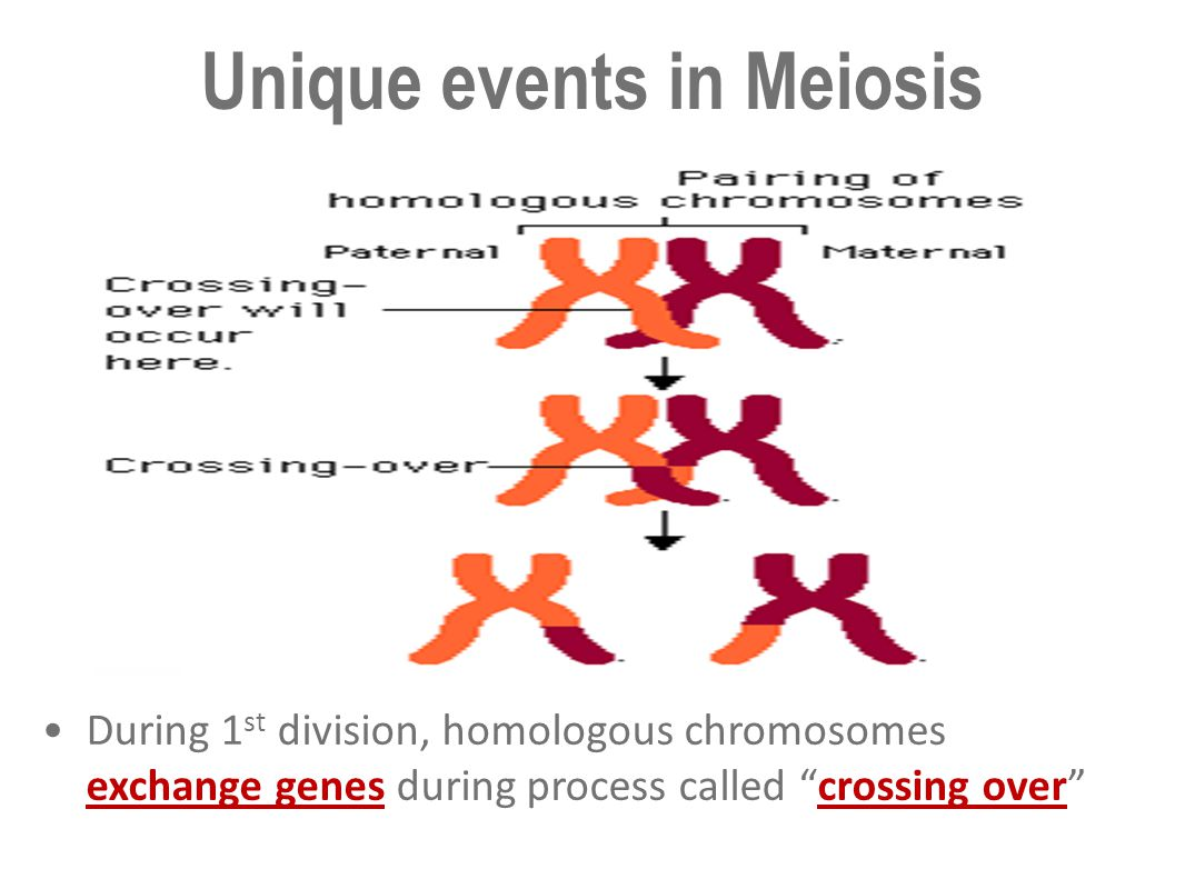 """During 1 st division, homologous chromosomes exchange genes during process called """"crossing over"""" Unique events in Meiosis"""