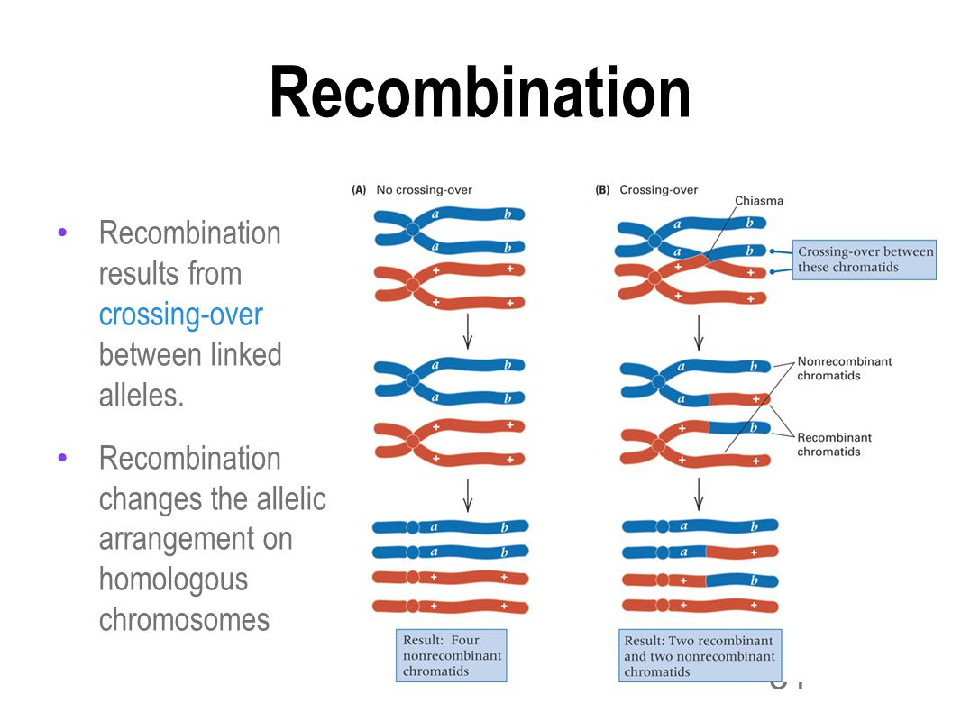 31 Gene Mapping Recombination results from crossing-over between linked alleles.