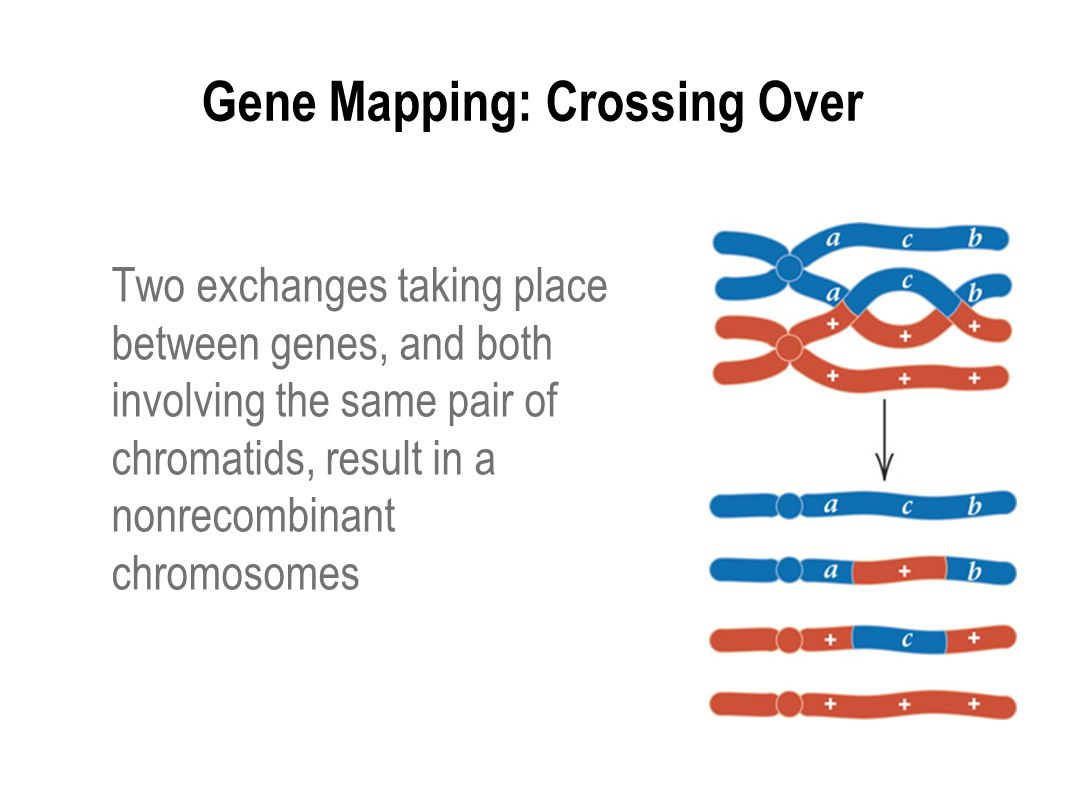 Gene Mapping: Crossing Over Two exchanges taking place between genes, and both involving the same pair of chromatids, result in a nonrecombinant chrom