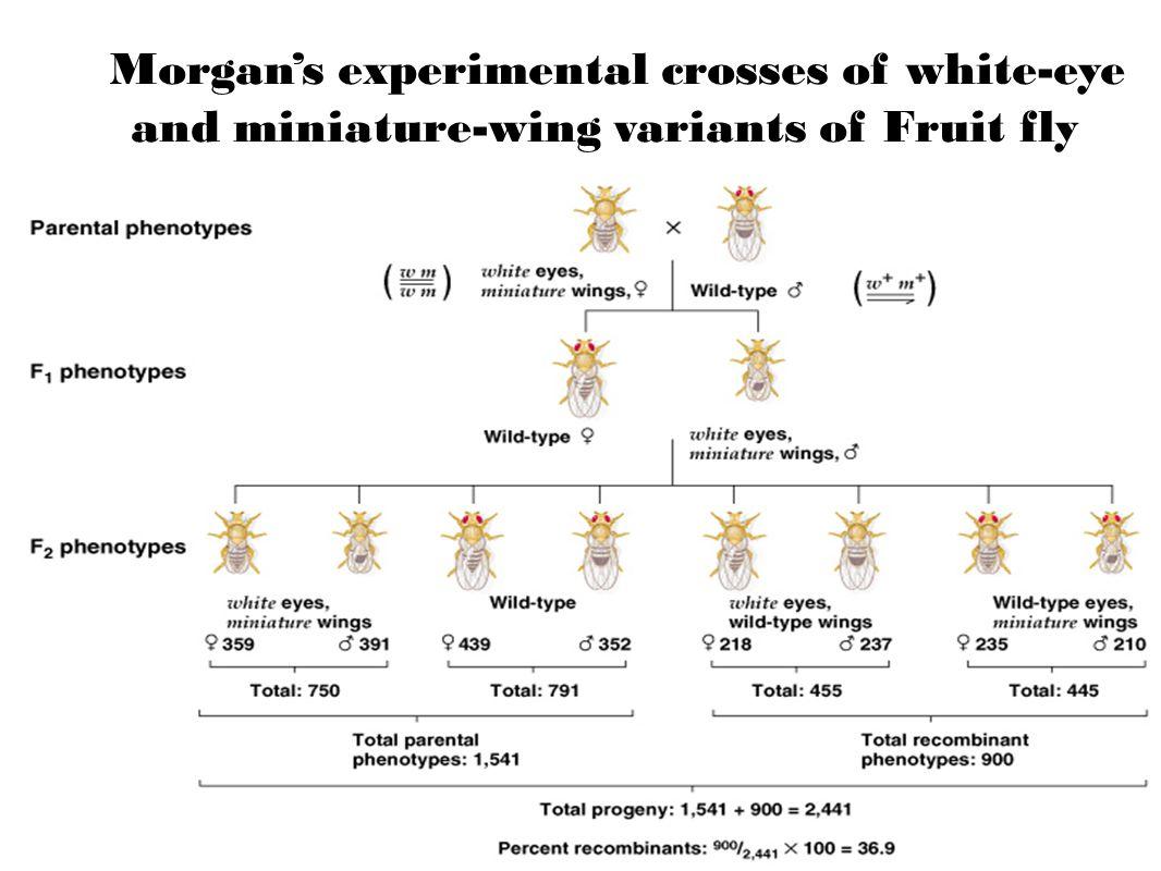 Peter J. Russell, iGenetics: Copyright © Pearson Education, Inc., publishing as Benjamin Cummings. Morgan's experimental crosses of white-eye and mini