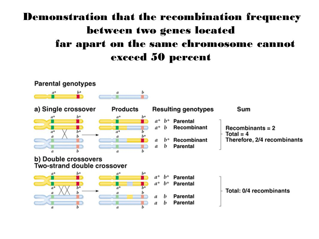 Demonstration that the recombination frequency between two genes located far apart on the same chromosome cannot exceed 50 percent